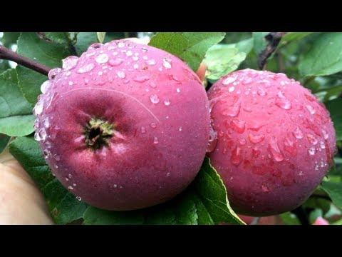 Секреты подкормки плодовых деревьев для здорового урожая