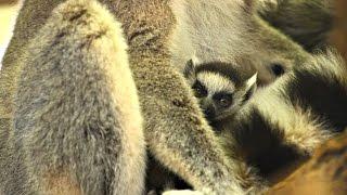 Сразу два кошачьих лемура родились в венском зоопарке (новости)