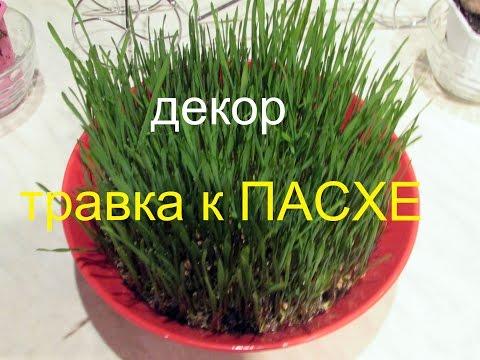 Вопрос: Как вырастить зеленую полянку к Пасхе?