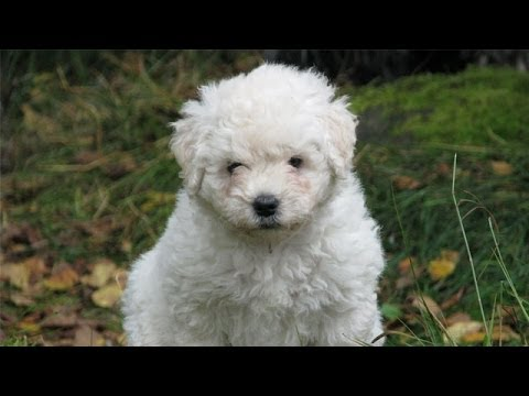 60 Seconds Of Cute Komondor Puppies Youtube