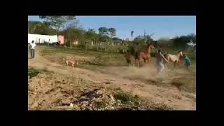 Egua cruzando com garanhão quarto de milha