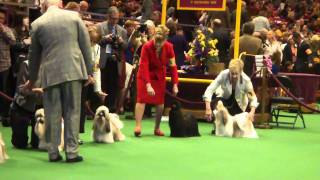 2011 Westminster Kennel Club Shih Tzu