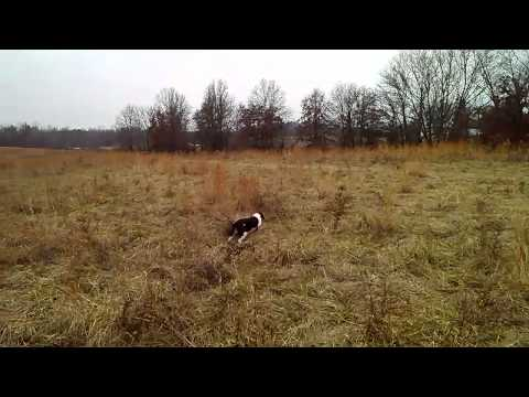 Brittany hunting quail