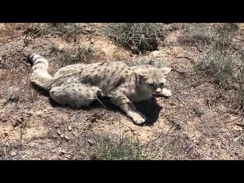 Вопрос: Как называется азиатский дикий кот?