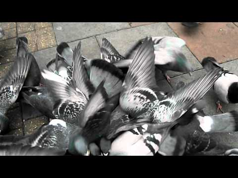 Pigeons enjoy organic wholemeal bread