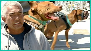 Aggressive Rescue Can't Be Controlled On Land | Cesar 911
