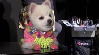 Bobby Gorgeous Pomeranian Photo Shoot
