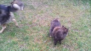 Cats mating in the Countryside (part 2)