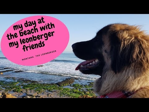 My dog at the beach playing with other leonbergers/druridge bay beach Northumberland