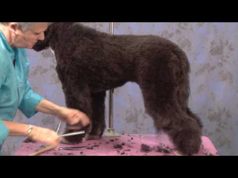 Portuguese Water Dog in a Working Retriever Trim