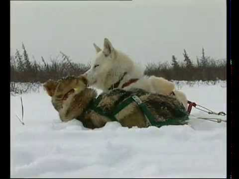 Grandeur Nature -  Le Chant Des Loups - Documentaire animali
