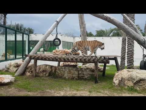 A tiger exploring enclosure