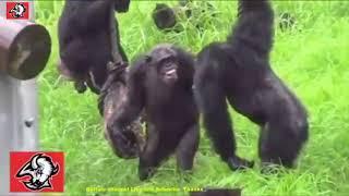 Sưtửvsヒヒvsライオン➚動物突然の攻撃チンパンジー、ライオン、ヒョウ、...