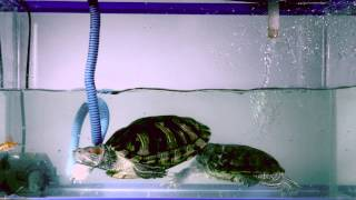 swimming turtle eat little fish in slow motion mega speed x7 pro