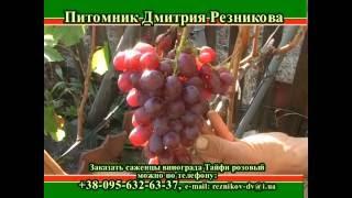 Виноград Тайфи розовый (Grapes Tayfi rozovyy (Tayfi pink)) 2015