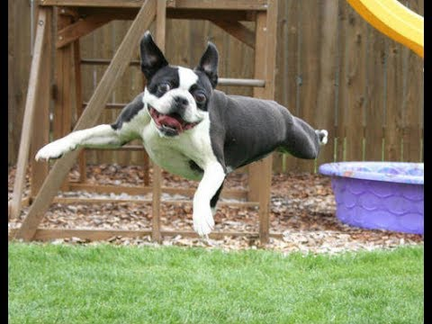 Funniest Boston Terrier Videos Compilation 2017 - Funny Dogs Video