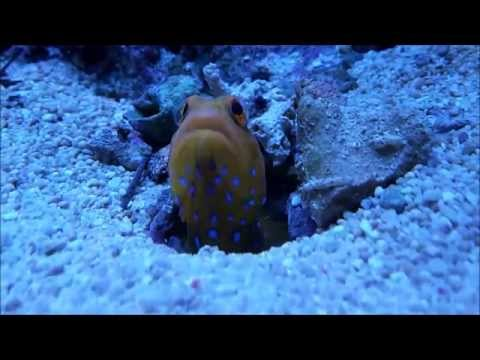 Blue Spotted Jawfish (Opistognathus Rosenblatti) In The Home Aquarium.
