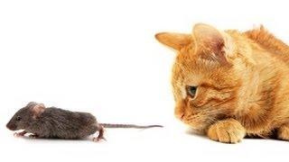 Мышь бежит к кошке... в пасть!
