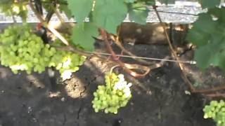Про Виноград