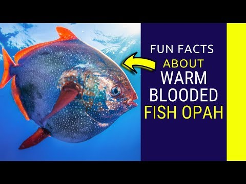 Warm Blooded Fish Opah Fun Facts  Meet The Comical Opah, The Only Truly Warm Blooded Fish