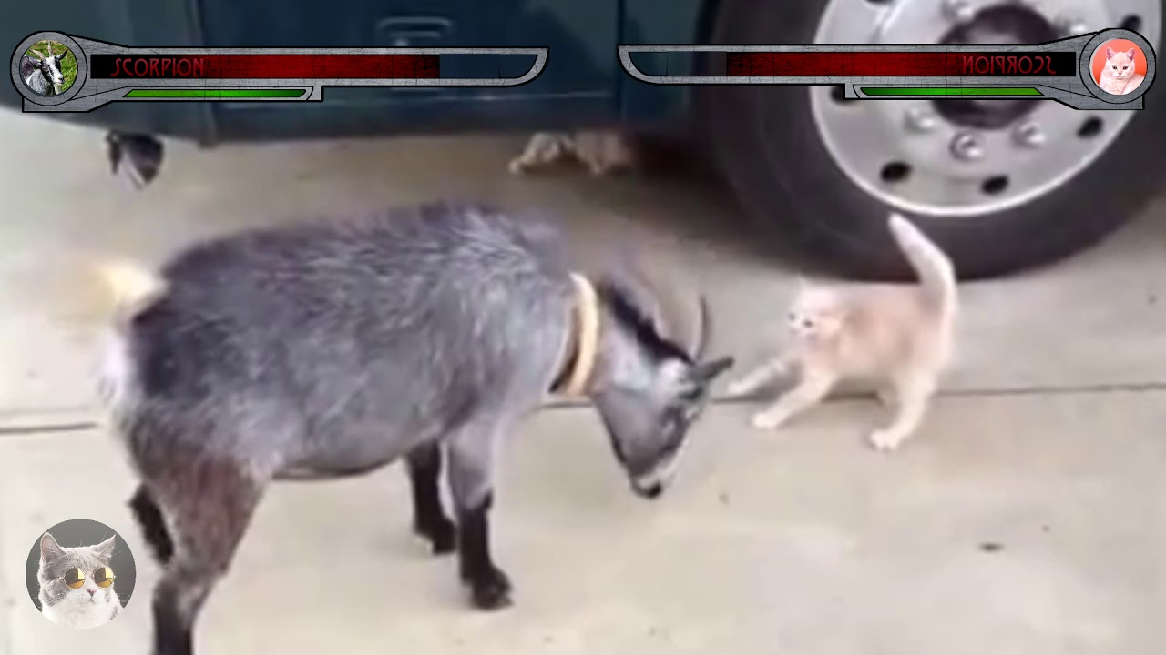 Funny pets. Crazy Goat vs Kitten mortal kombat