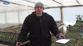видео Вырастить помидоры  в открытом грунте
