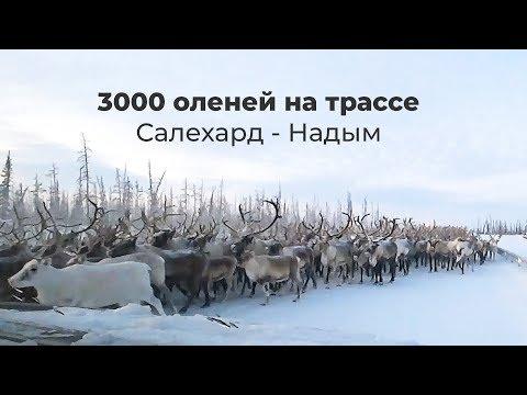 3000 оленей идут по трассе Салехард-Надым (полное видео)