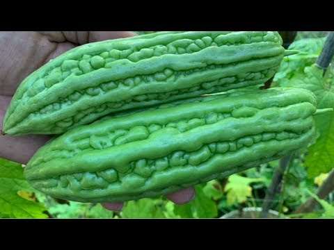 How To Grow Bitter Melon | Grow Bitter Melon In Container | Daily Life And Nature
