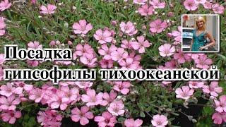 ПОСАДКА ГИПСОФИЛЫ ТИХООКЕАНСКОЙ