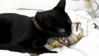 今まで末っ子だったラブが子猫の面倒を見るほど大人になりました。