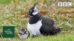 Our spring wildlife webcams live! 🐤🦊🐿 - Wed 3 June - Springwatch - BBC