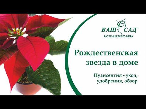 Пуансеттия - покупка и выращивание. Все секреты ухода за Рождественской звездой - Ваш сад