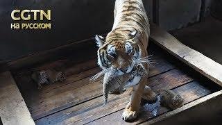 11-летняя амурская тигрица родила 5-х котят