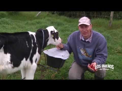 Como Engordar Terneras Holstein con Lactoremplazante - Levante - TvAgro por Juan Gonzalo Angel