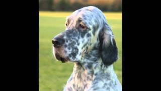 Английский   Сеттер/English Setter (порода собак HD slide show)!
