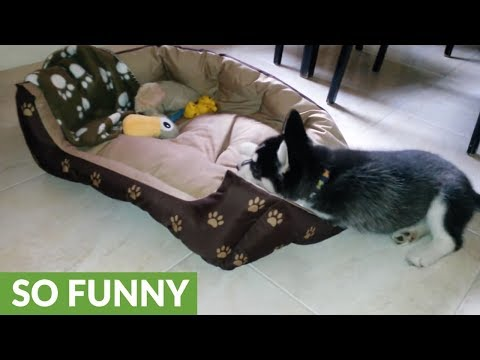 "Husky puppy ""makes her bed"" every single morning"