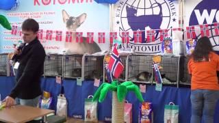 Шоу норвежских лесных кошек, 2.02.2014, Новосибирск, часть 2