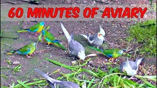 1 Hour of Aviary (60 Minutes Narration Free Birds) Cockatiel Companion Parrots Quail Pheasants