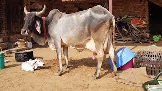 👍Tharparkar Cow (24.5 Kg Milk) has India