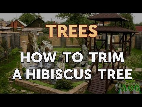 How To Trim A Hibiscus Tree Youtube
