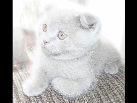 Шотландская вислоухая кошка или Скоттиш Фолд