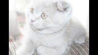 Шотландские котята , лилового окраса, Scottish fold