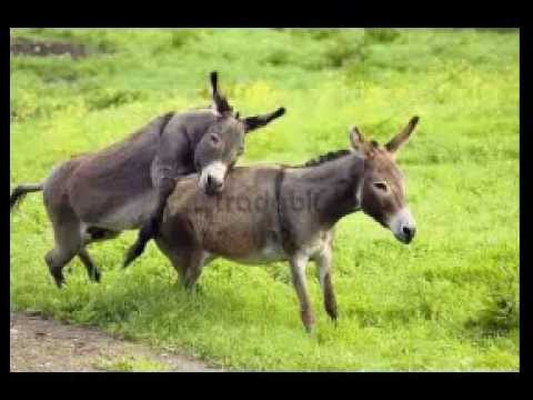 Renewed attention to the regional burro