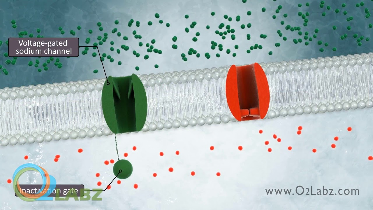 Download The Excitable Cell And Resting Membrane Animation