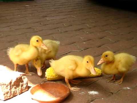 Baby Pekin ducks eating corn - YouTube