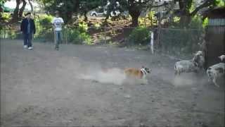 Pembroke Welsh Corgi Puppy Herding