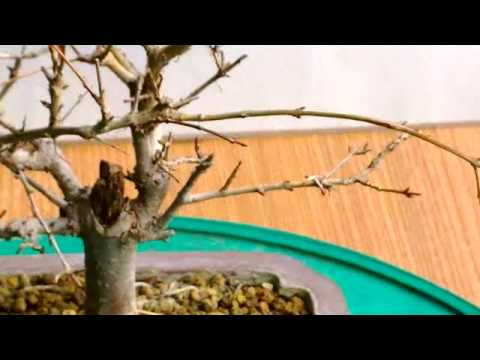 Bonsai Potatura Autunnale Punica Granatum Youtube
