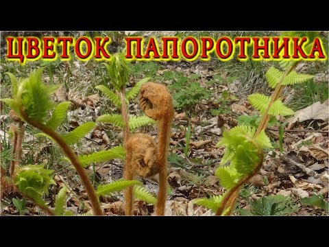 Как выглядит цветок папоротника фото