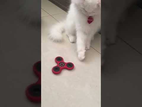 Cat playing with fidget spinner
