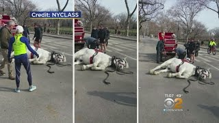 Central Park Carriage Horse Collapses
